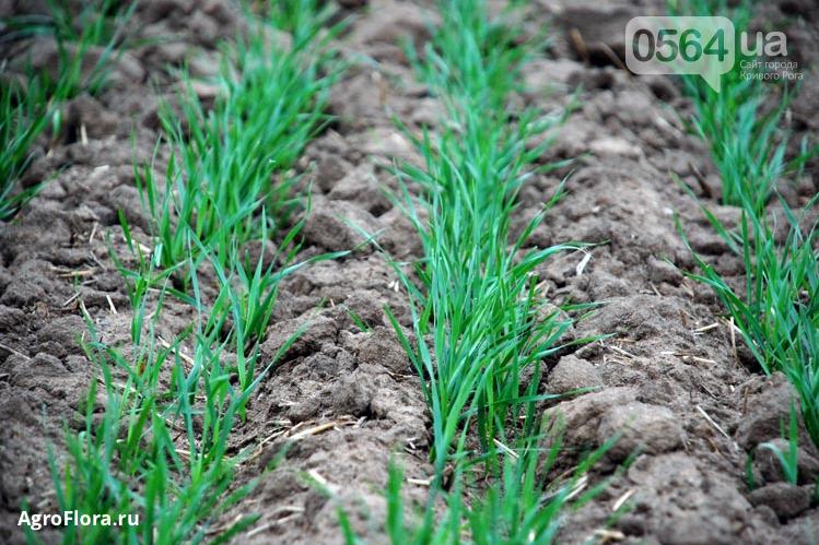 Озимовые агрокультуры в Украине: факторы зимостойкости, фото-1