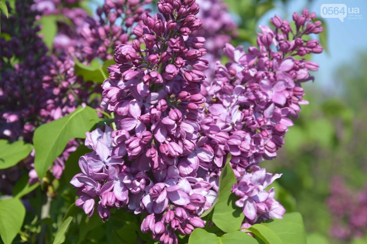 """Коллекция сирени, тюльпан """"Черный кофе"""", барбарис, - как выглядит Криворожский ботанический сад сегодня, - ФОТО, фото-5"""