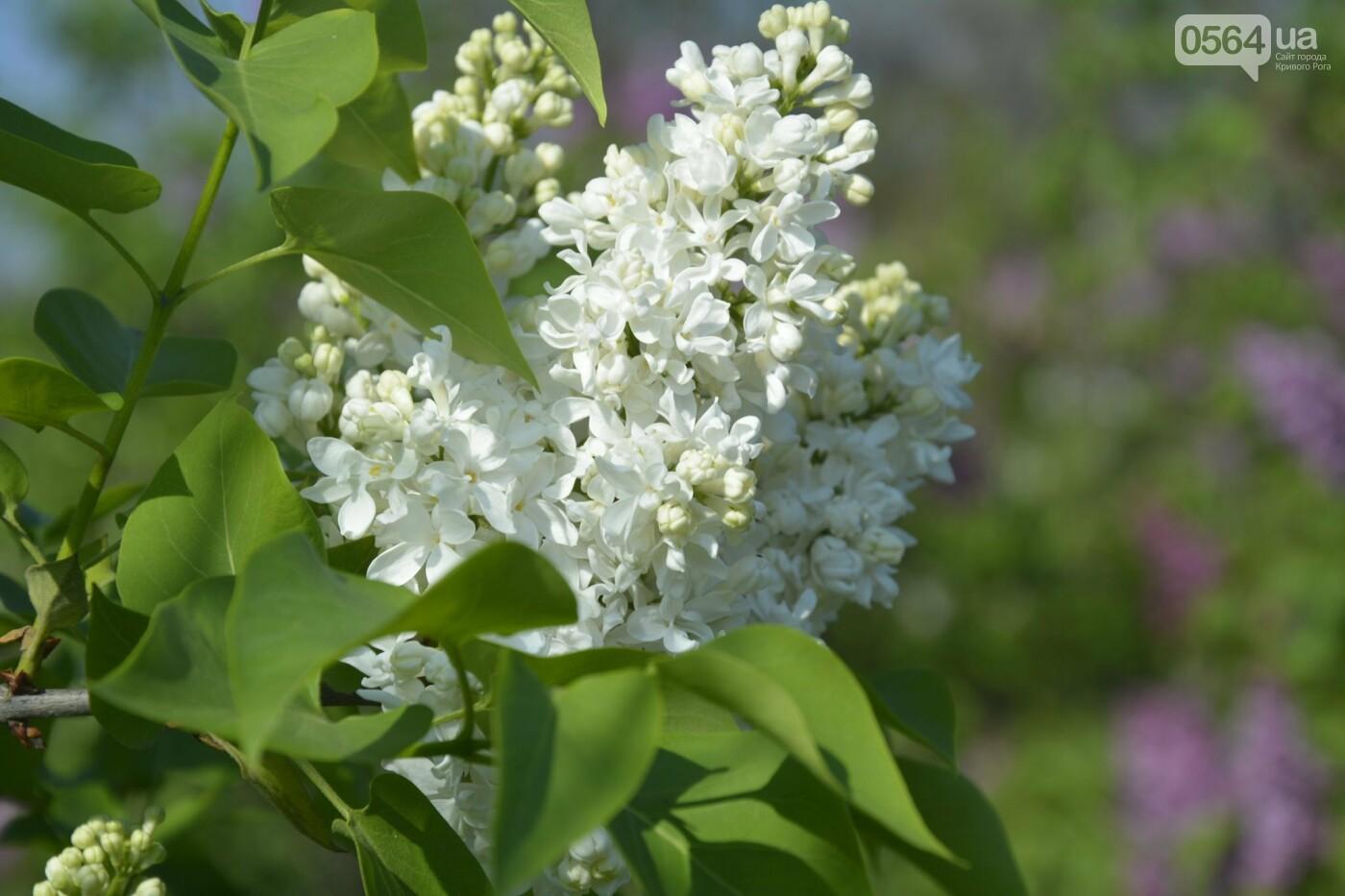 """Коллекция сирени, тюльпан """"Черный кофе"""", барбарис, - как выглядит Криворожский ботанический сад сегодня, - ФОТО, фото-7"""