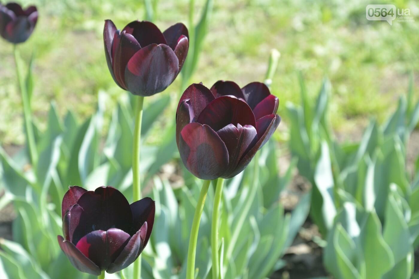 """Коллекция сирени, тюльпан """"Черный кофе"""", барбарис, - как выглядит Криворожский ботанический сад сегодня, - ФОТО, фото-8"""