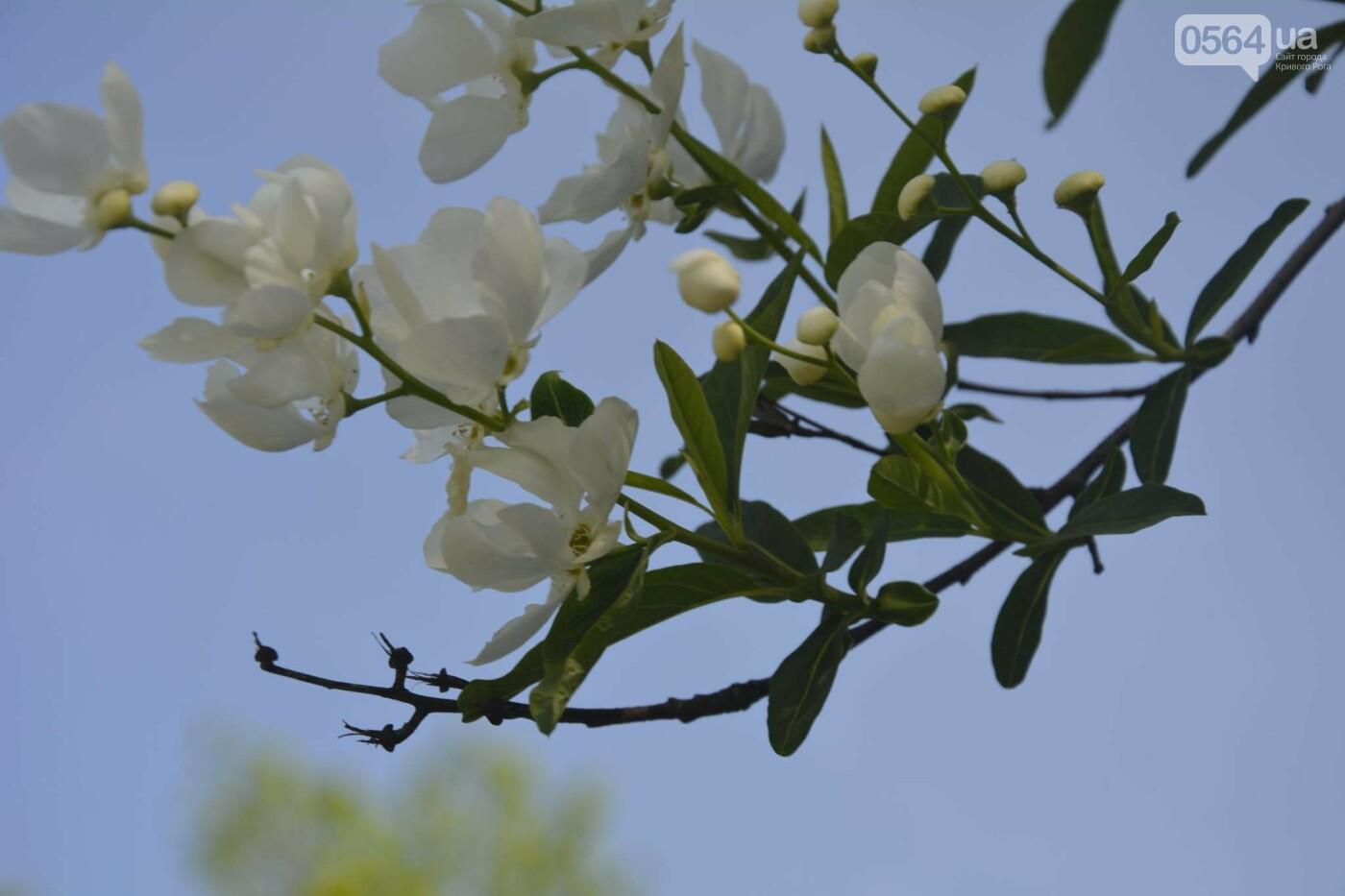"""Коллекция сирени, тюльпан """"Черный кофе"""", барбарис, - как выглядит Криворожский ботанический сад сегодня, - ФОТО, фото-9"""