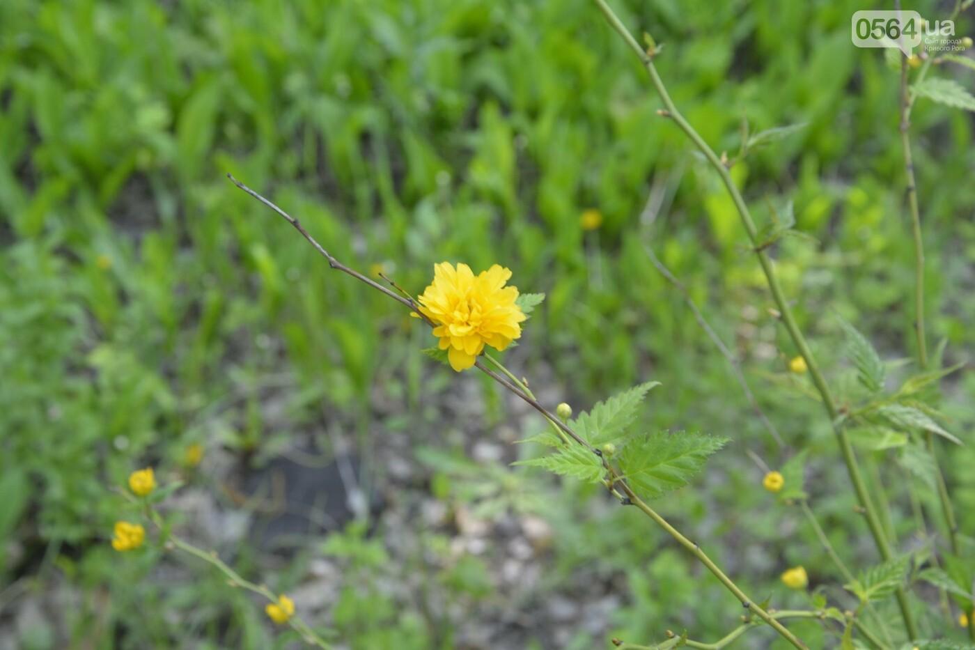 """Коллекция сирени, тюльпан """"Черный кофе"""", барбарис, - как выглядит Криворожский ботанический сад сегодня, - ФОТО, фото-13"""