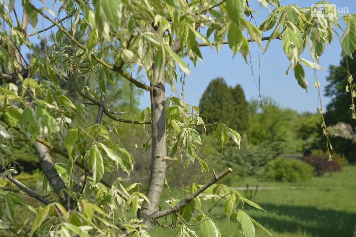 """Коллекция сирени, тюльпан """"Черный кофе"""", барбарис, - как выглядит Криворожский ботанический сад сегодня, - ФОТО, фото-14"""