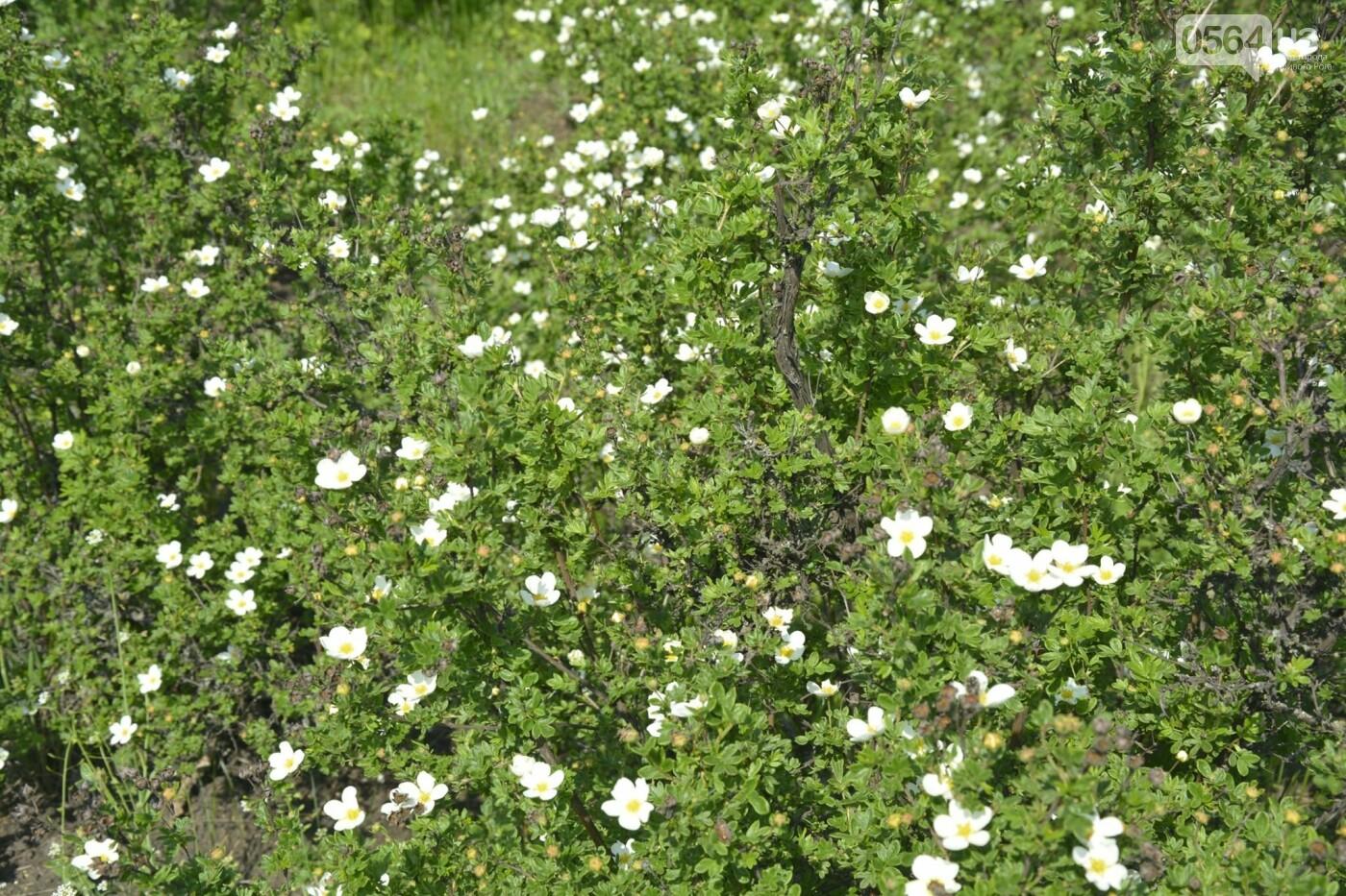 """Коллекция сирени, тюльпан """"Черный кофе"""", барбарис, - как выглядит Криворожский ботанический сад сегодня, - ФОТО, фото-16"""
