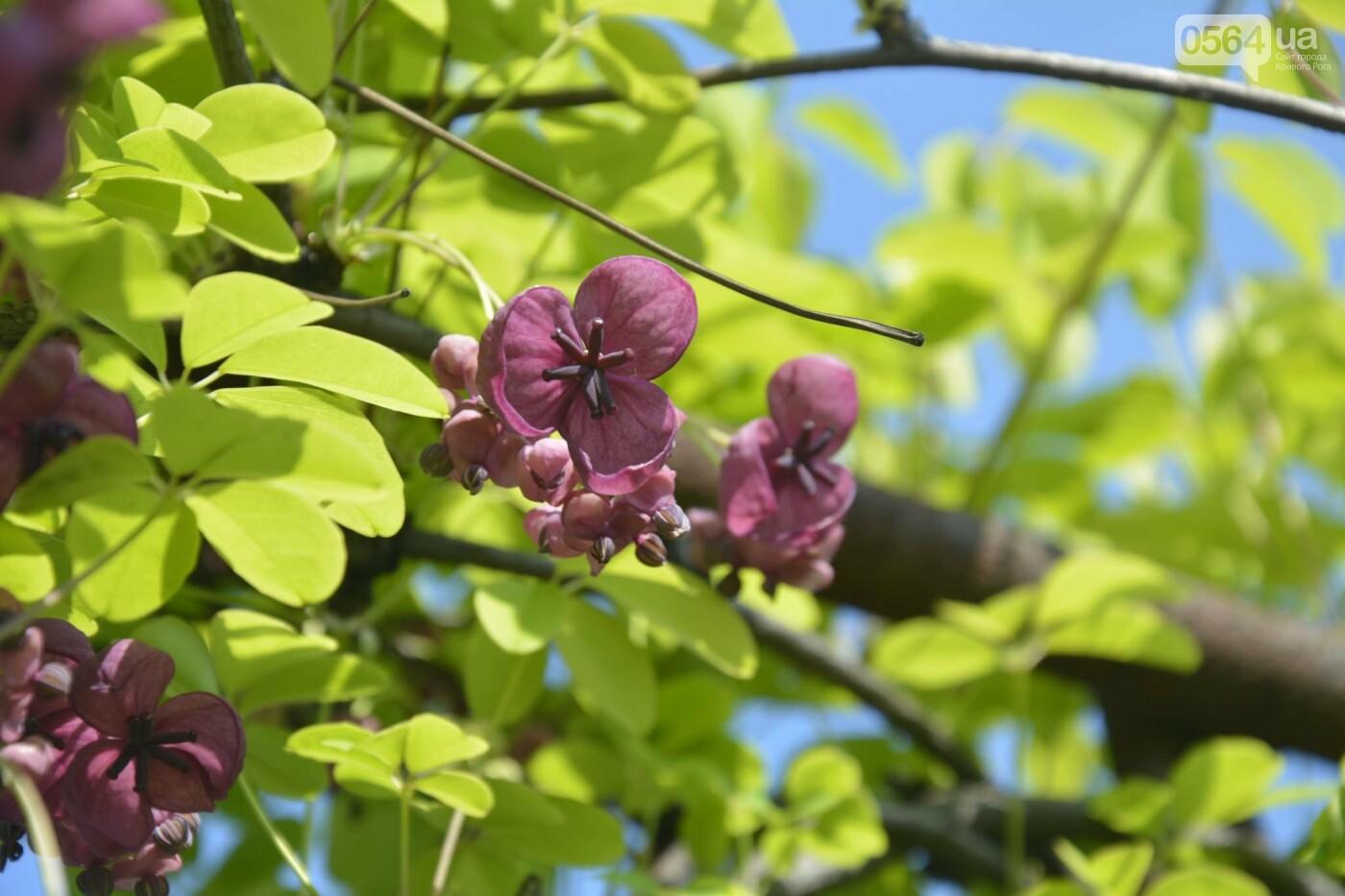 """Коллекция сирени, тюльпан """"Черный кофе"""", барбарис, - как выглядит Криворожский ботанический сад сегодня, - ФОТО, фото-17"""