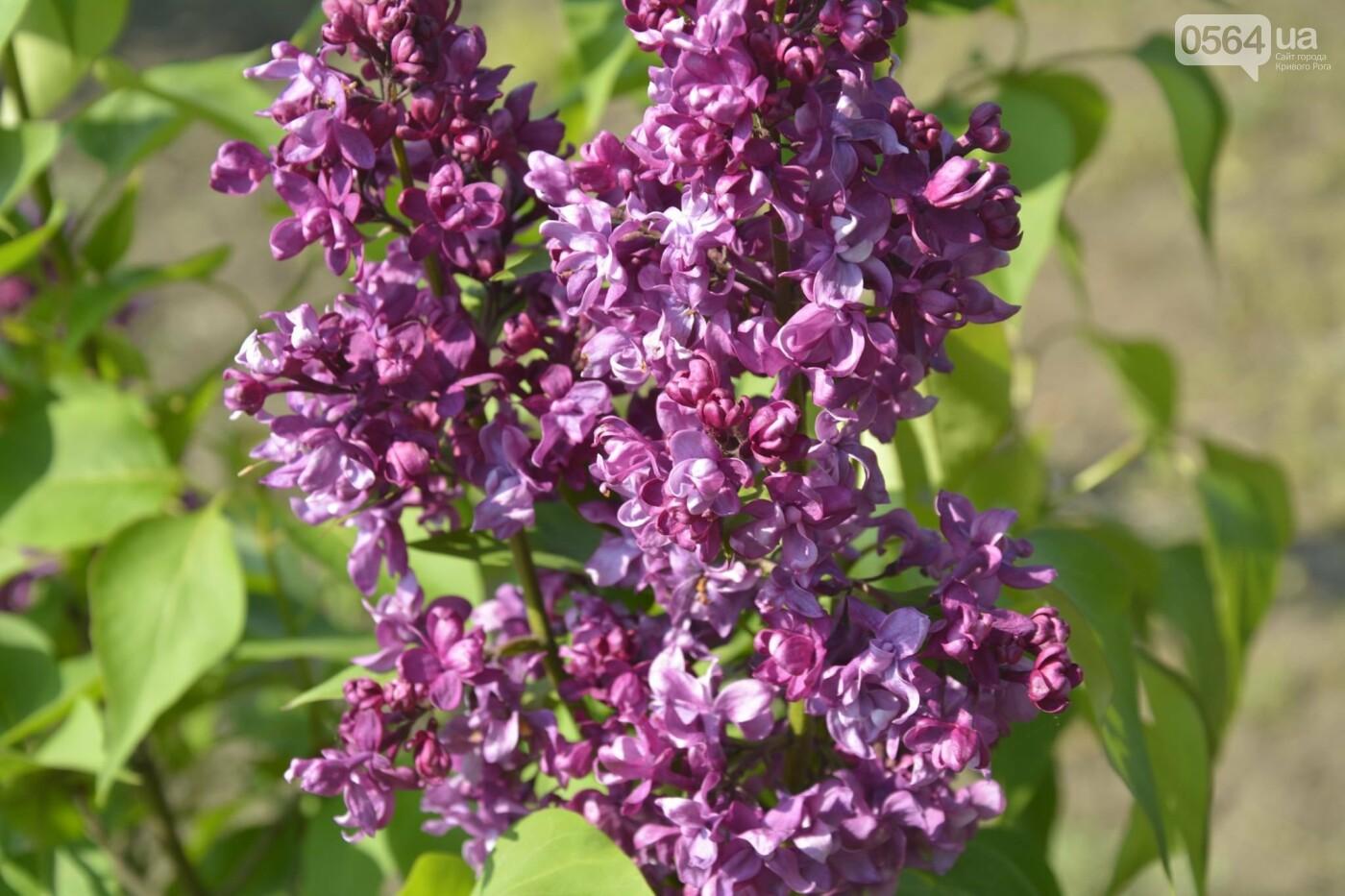 """Коллекция сирени, тюльпан """"Черный кофе"""", барбарис, - как выглядит Криворожский ботанический сад сегодня, - ФОТО, фото-18"""