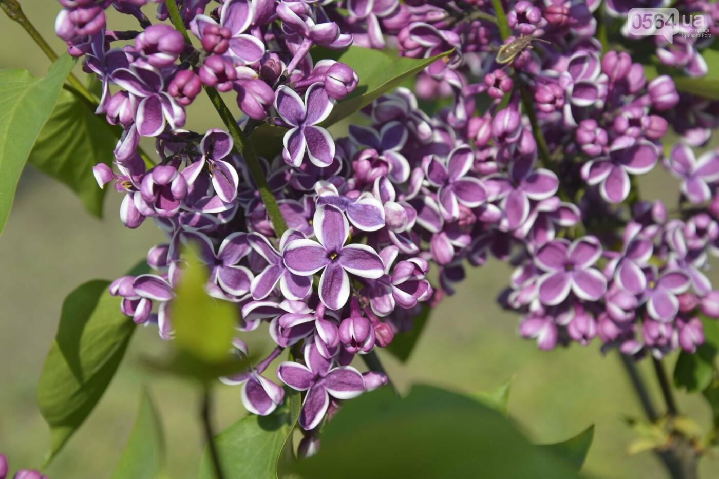 """Коллекция сирени, тюльпан """"Черный кофе"""", барбарис, - как выглядит Криворожский ботанический сад сегодня, - ФОТО, фото-23"""