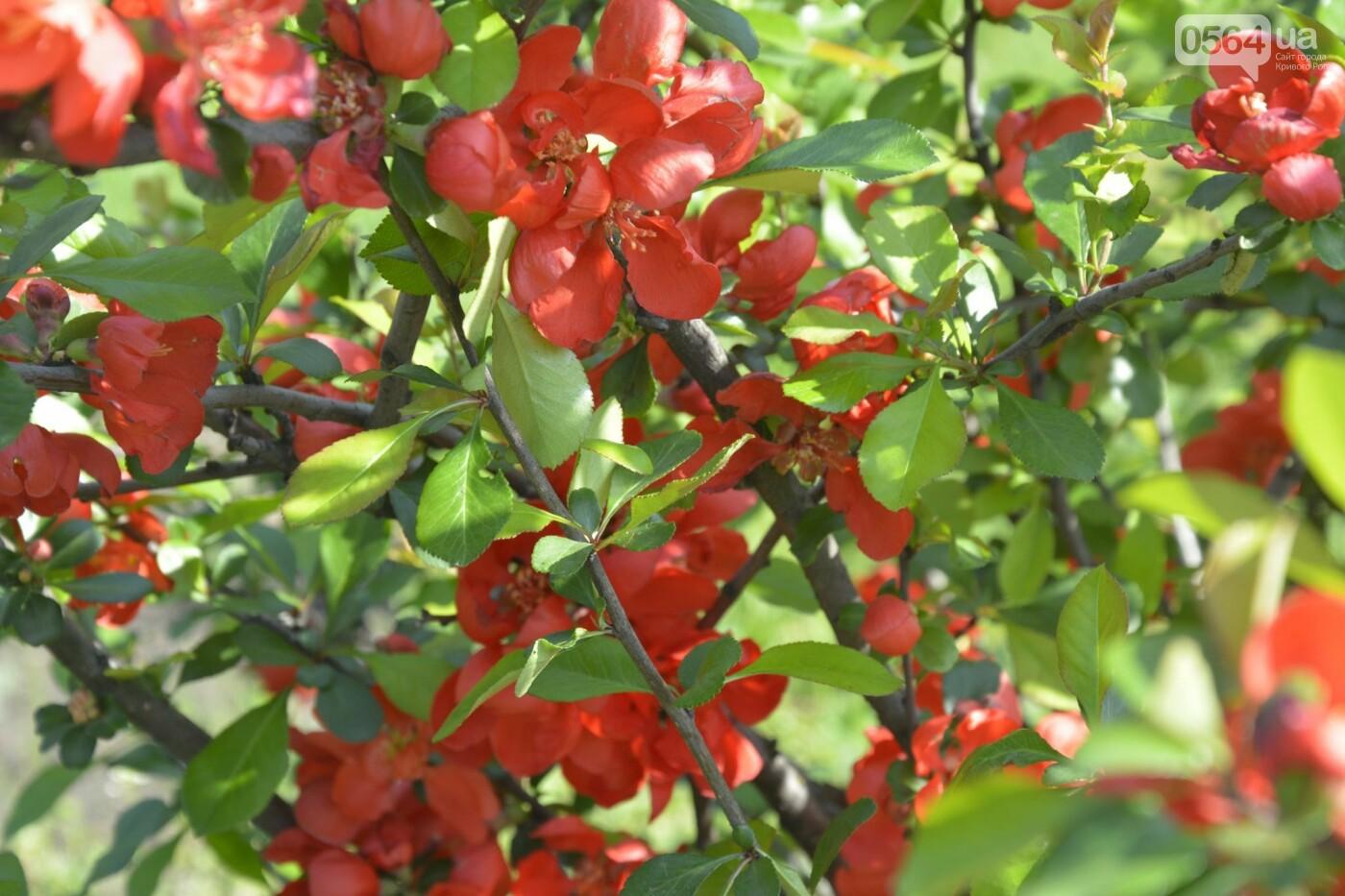 """Коллекция сирени, тюльпан """"Черный кофе"""", барбарис, - как выглядит Криворожский ботанический сад сегодня, - ФОТО, фото-2"""