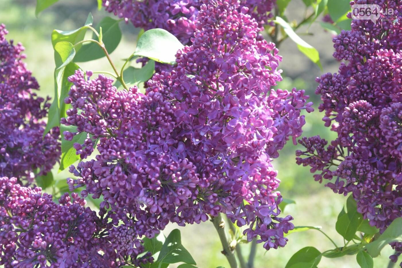 """Коллекция сирени, тюльпан """"Черный кофе"""", барбарис, - как выглядит Криворожский ботанический сад сегодня, - ФОТО, фото-29"""
