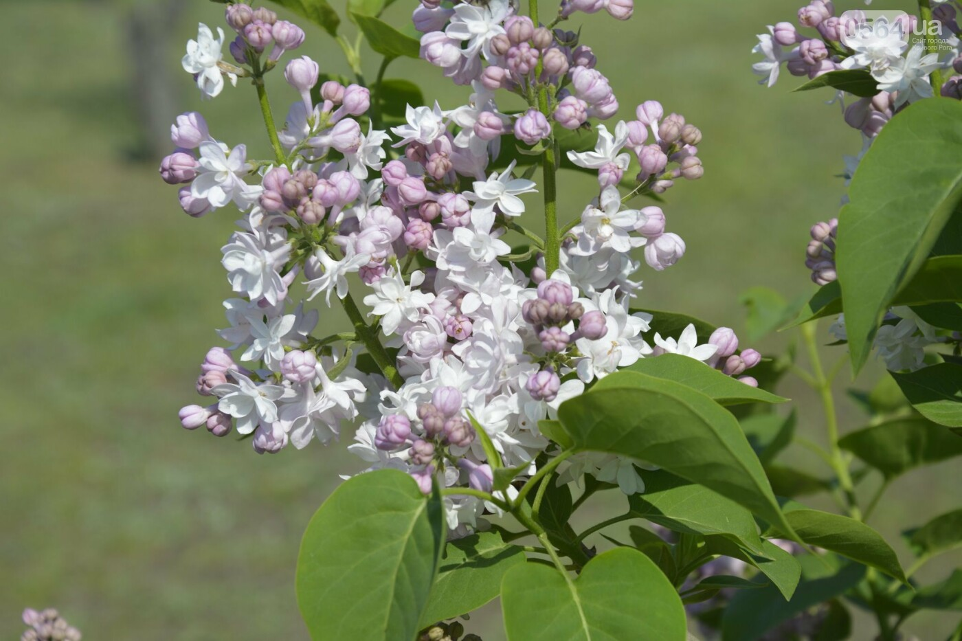 """Коллекция сирени, тюльпан """"Черный кофе"""", барбарис, - как выглядит Криворожский ботанический сад сегодня, - ФОТО, фото-30"""