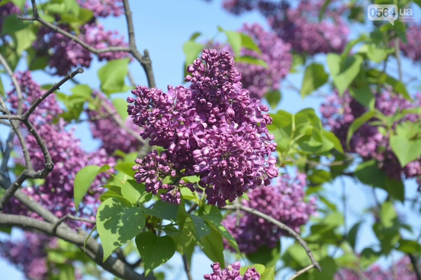 """Коллекция сирени, тюльпан """"Черный кофе"""", барбарис, - как выглядит Криворожский ботанический сад сегодня, - ФОТО, фото-31"""
