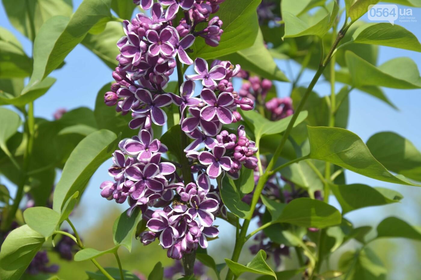 """Коллекция сирени, тюльпан """"Черный кофе"""", барбарис, - как выглядит Криворожский ботанический сад сегодня, - ФОТО, фото-32"""