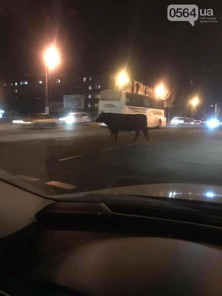 Вечером криворожский бык напугал автолюбительницу, - ФОТО , фото-2