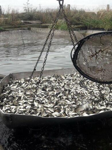 В Криворожском районе выпустили 1800 килограммов рыбы в Карачуновское водохранилище, - ФОТО , фото-3