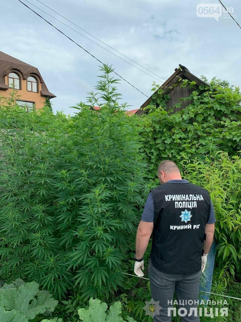 В Кривом Роге полицейские нашли где растёт 2-х метровая конопля, - ФОТО,ВИДЕО, фото-1