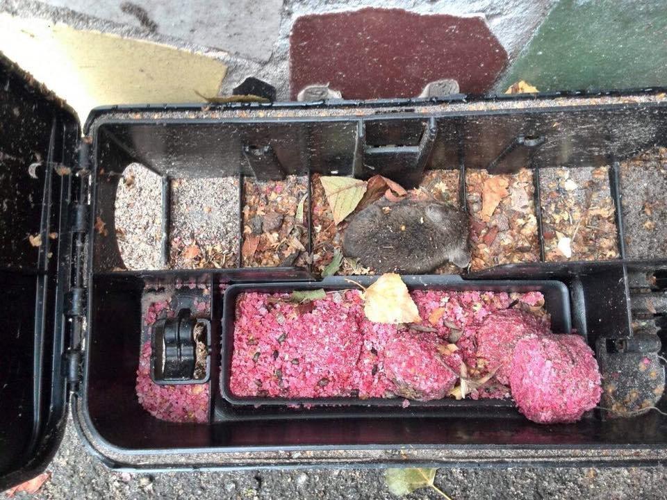 """В Кривом Роге вычислили, какой яд """"предпочитают"""" горисполкомовские крысы (ФОТО), фото-4"""