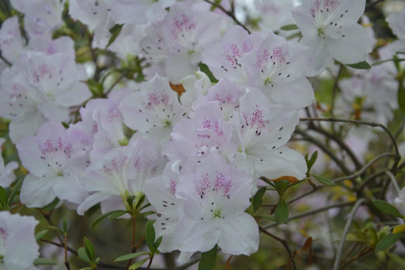 В Криворожском ботаническом саду расцвели азалии, - ФОТО , фото-8