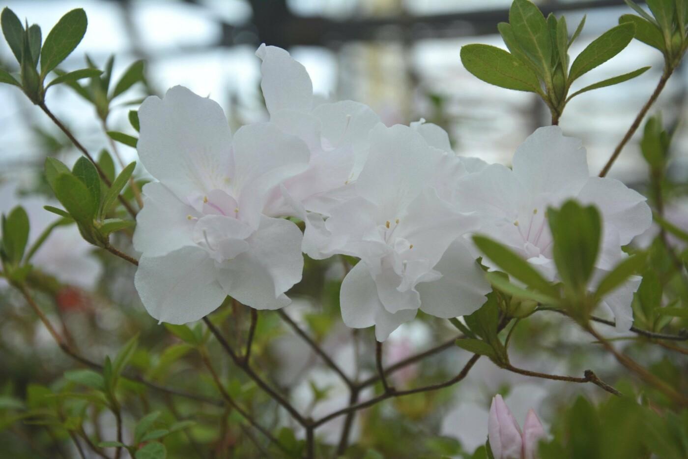 В Криворожском ботаническом саду расцвели азалии, - ФОТО , фото-6