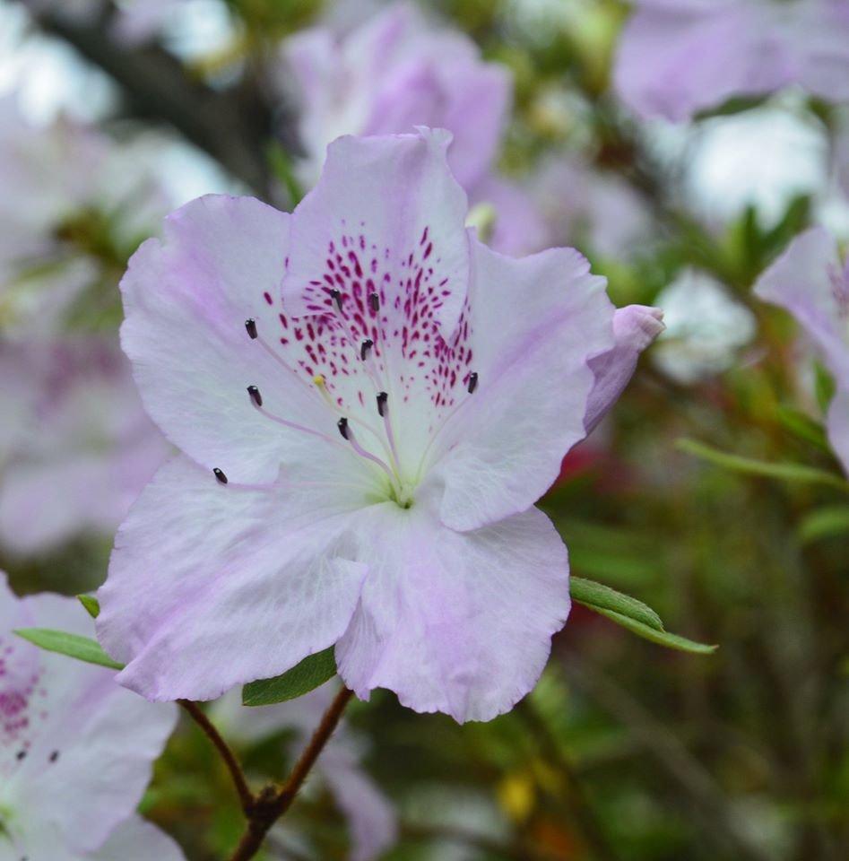 В Криворожском ботаническом саду расцвели азалии, - ФОТО , фото-7