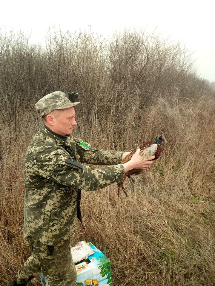 На Криворожье охотники выпустили в дикую природу фазанов, - ФОТО , фото-1
