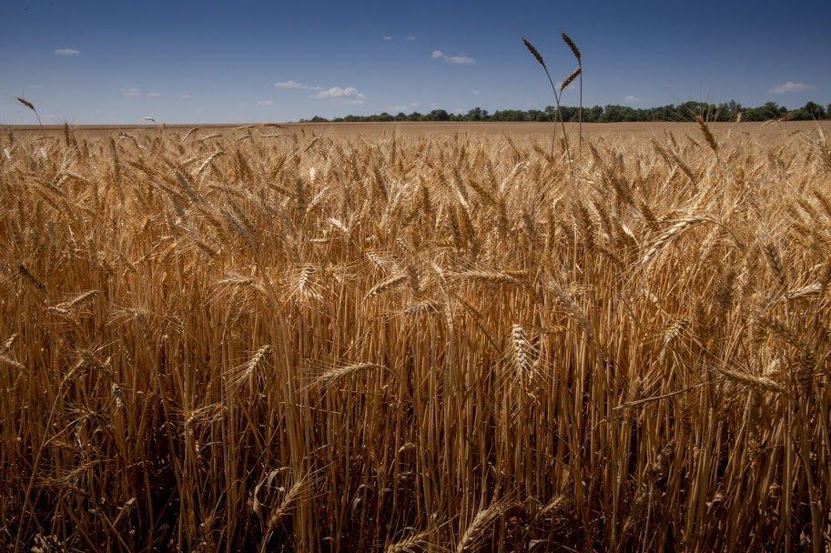 Днепропетровщина - в национальных лидерах по урожаю ранних зерновых, - ФОТО , фото-5