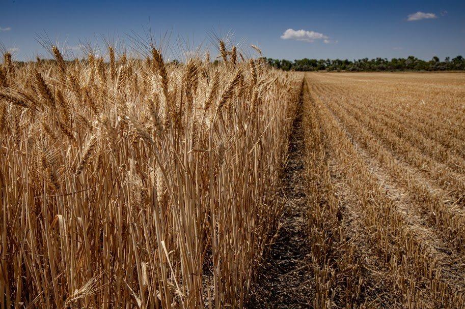 Днепропетровщина - в национальных лидерах по урожаю ранних зерновых, - ФОТО , фото-8
