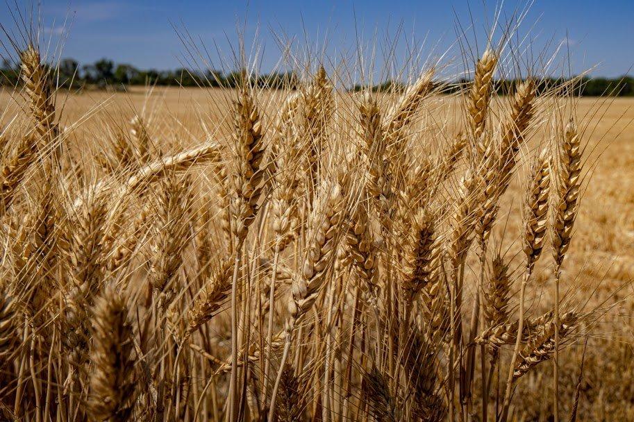 Днепропетровщина - в национальных лидерах по урожаю ранних зерновых, - ФОТО , фото-7